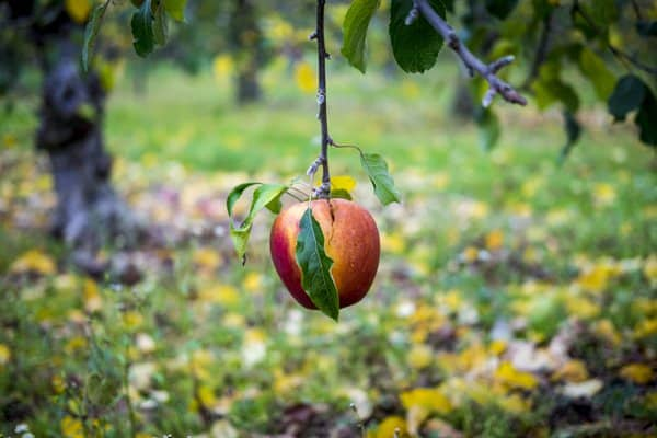 A photo of an apple hanging low from an apple tree.