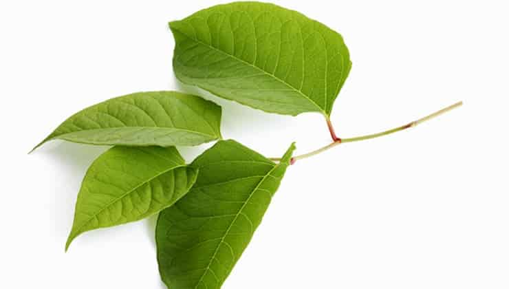 Close up photograph of a sprig of Fallopia Japonica (Japanese Knotweed