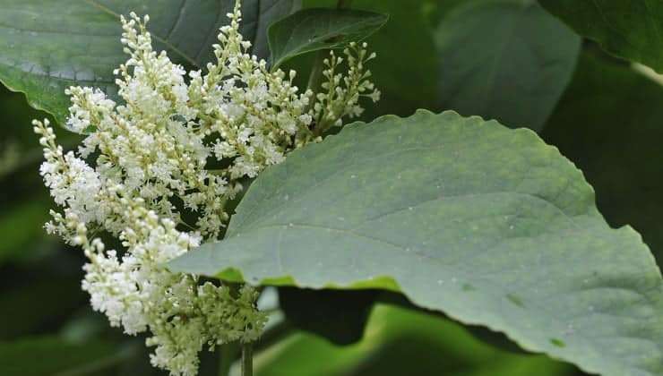 Close up photograph of the flowers of a Japanese Knotweed plant