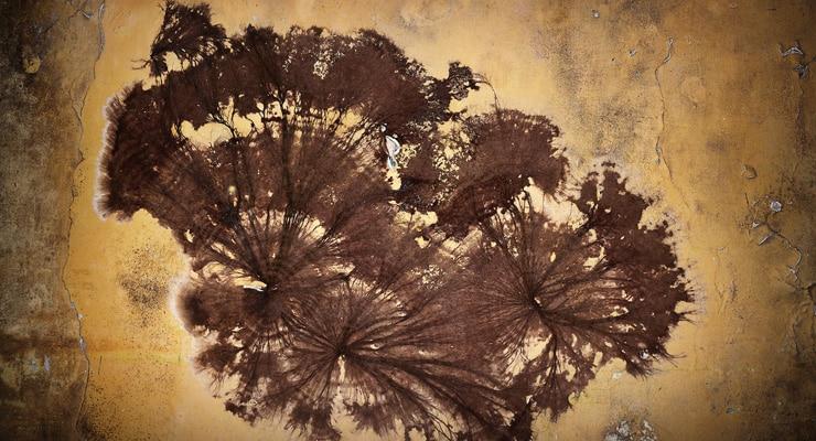 Coniophora puteana Mycelium