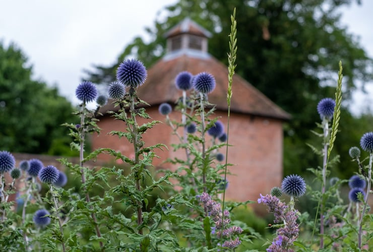 A close up of a Ruthenian Globe Thistle in Eastcote House Gardens, Hillingdon.