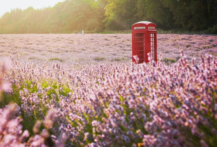 A typical British, red phone box in a field of lavender. Photograph taken at Mayfield Lavender Farm in Banstead, Surrey.